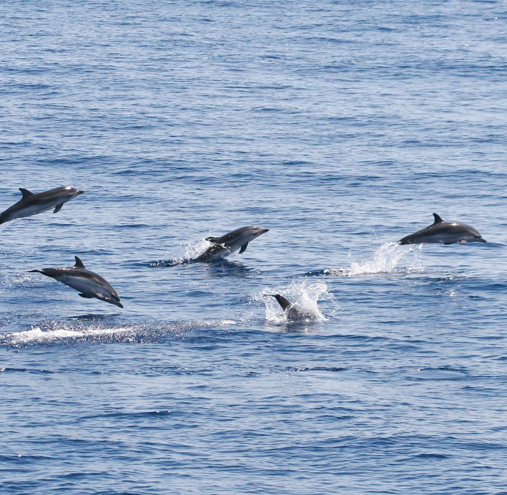 EcomarineMalta-dolphin-striped-dolphin-jumping