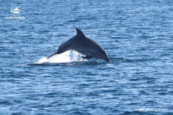 bottlenose-dolphin-jumping-malta-adopt-dolphin